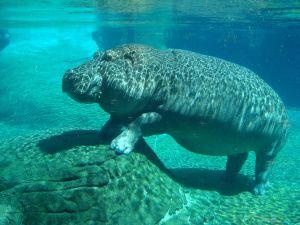 1280px-Hippopotamus_in_San_Diego_Zoo